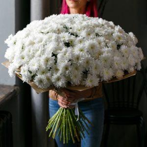 101 хризантема «Балтика» (пушистые)